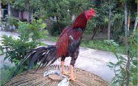 Cara Merawat Ayam Bangkok Sebelum Dan Sesudah Diadu – Ngasih