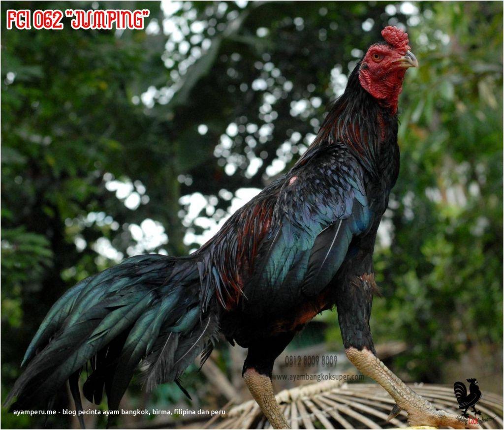 "Edisi Akhir Tahun Ayam Bangkok Super Pakhoy Ukuran 6 Up Fci 062 ""jumping"" Ayam Thailand"