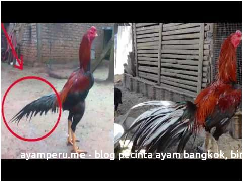 Ternyata Begini Ciri Utama Ayam Bangkok Ekor Lidi