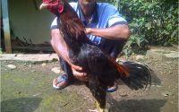 Ayam Bangkok Super Jawara Garut Desember 2014