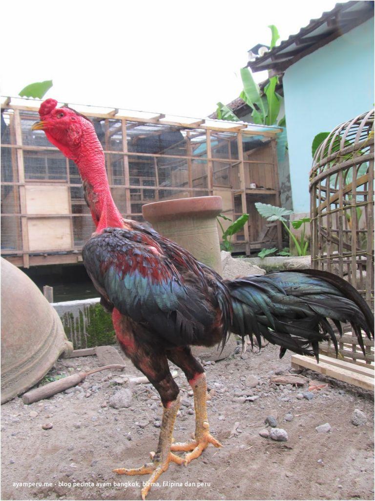 Ayam Tangkas Peternakan Ayam Saigon Bangkok Burma aseel Magon Mathai Magonthai asma