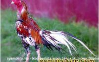 Pesona Ayam Bangkok Blorok Madu