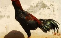 "Terjual Ke Lampung Edisi Lebaran Ayam Bangkok Super ""si Rawit"" Ayam Thailand original"